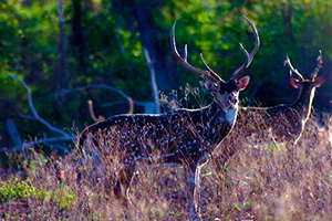 Chital deer hunt