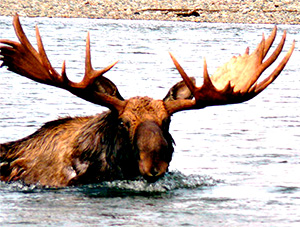 Giant moose hunt image