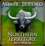 Asiatic Buffalo Hunt Australia