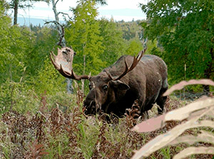 Kamchatka moose hunt image