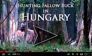Hunting fallow buck in Hungary video