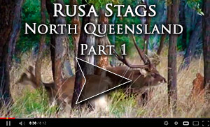 Rusa Stag Video 1